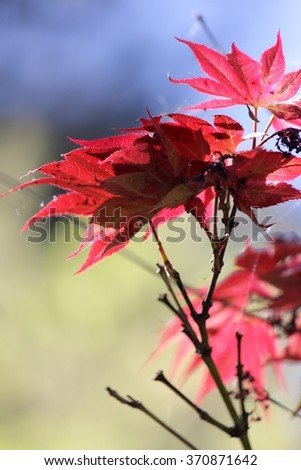 Red Japanese Maple Leaves with soft focus background - stock photo