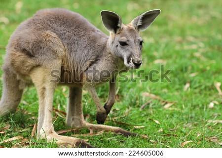 Red Kangaroo  - stock photo
