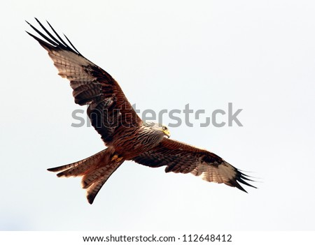Red Kite in flight above the hills of Dumfrieshire, Scotland