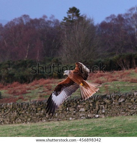 Red Kite in flight against trees and a farmers grounds - stock photo