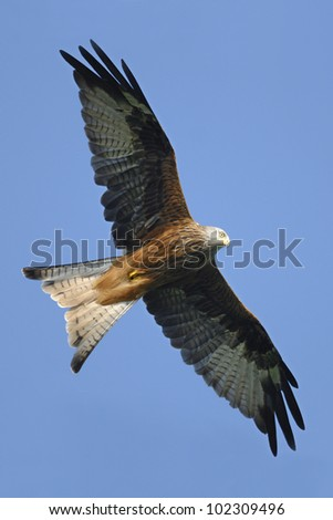 Red Kite (Milvus milvus) flying in the Brecon Beacons - stock photo