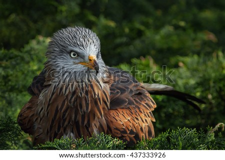 Red Kite sitting in a tree. A beautiful red kite is seen sitting in a coniferous tree.