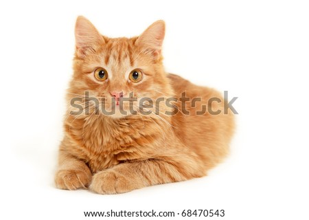 red kitten resting isolated on white background