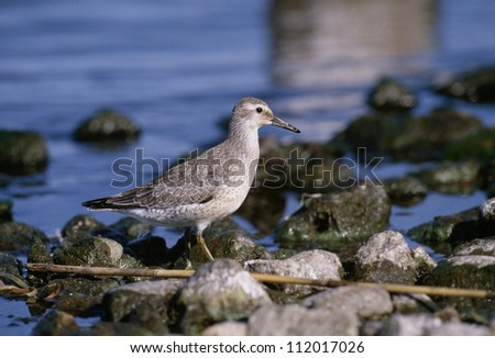 Red knot perching on stick near rocks