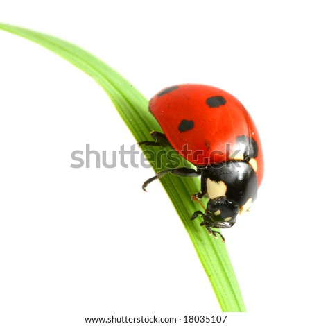 red ladybug on green grass isolated - stock photo