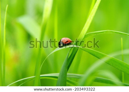 red ladybug on green grass isolated on green - stock photo