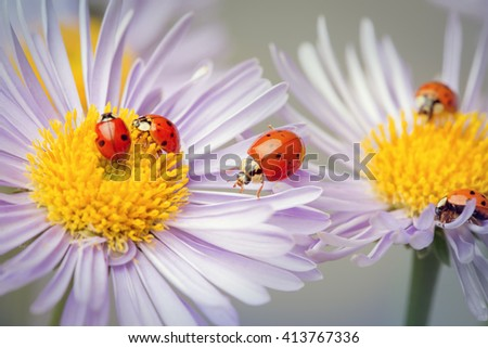 red ladybugs on a camomile flower - stock photo