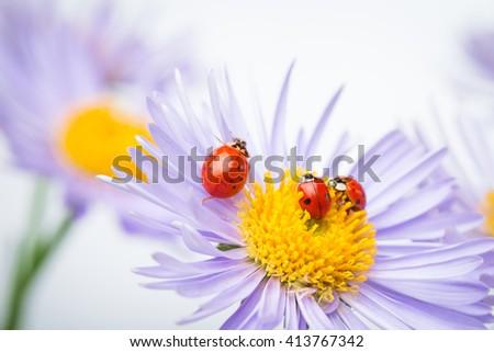 red ladybugs on camomile flower - stock photo