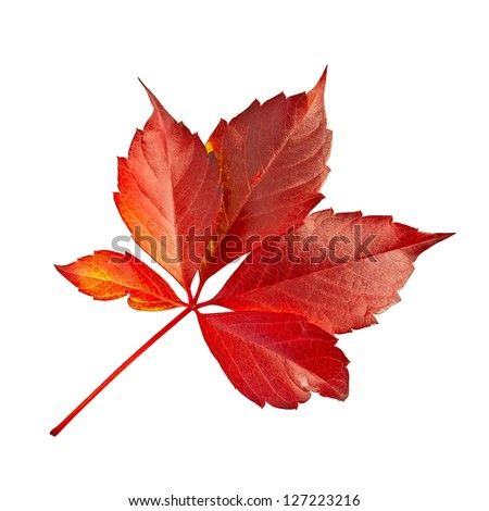 Red leaf decorative grapes isolated on white background