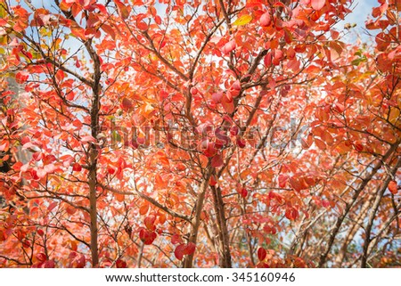 red leaf tree fall season, close up background