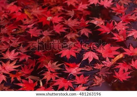 Red leaves accumulated in the pond