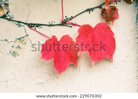 Red leaves on vine against white wall. - stock photo