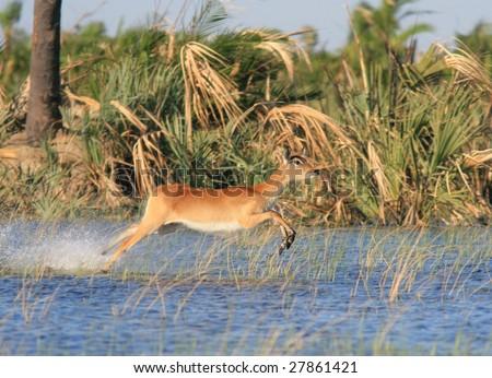 Red lechwe in Okavango Delta - stock photo