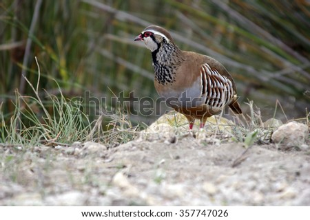 Red-Legged Partridge (Alectoris rufa) - stock photo