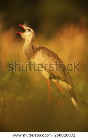 Red-legged Seriema, Cariama cristata, Pantanal, Brazil - stock photo