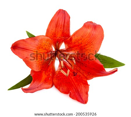 Red lilly flower closeup on white - stock photo