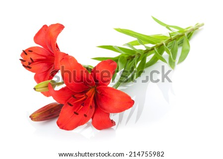Red lily flower. Isolated on white background - stock photo