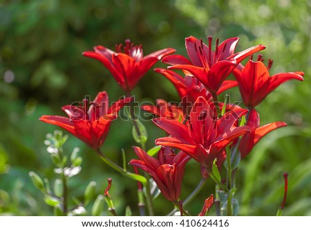 red lily in summer garden - stock photo