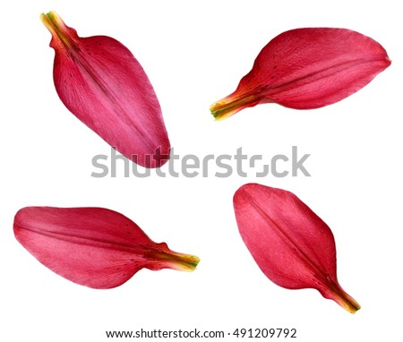 red lily petals stock photo edit now 491209792 shutterstock
