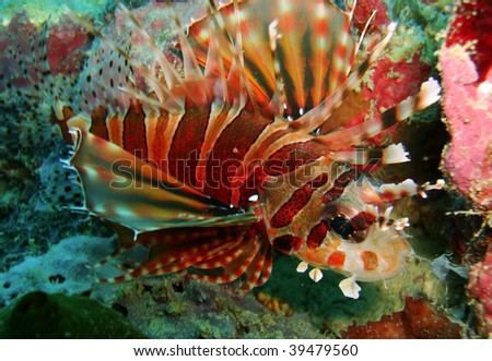 red lion fish, sipadan, borneo malaysia - stock photo