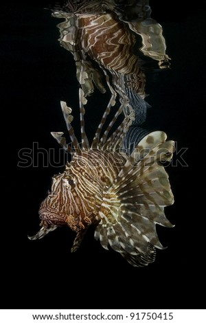 Red Lionfish and reflection - stock photo