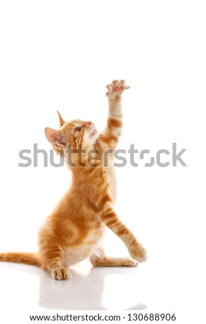 Red little cat on the isolated background - stock photo