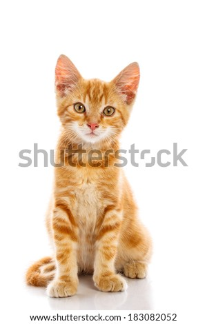 Red little cat on the isolated background, studio shot - stock photo