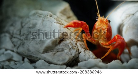 Red Lobster Shrimp - stock photo