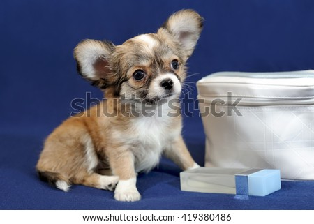 Red long-haired chihuahua with cosmetic bag on blue background. Puppy is two months old on the picture. - stock photo