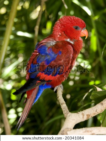 Red lorikeet parrot