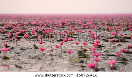 Red lotus in big pond at Kumpawapee, Udornthani, Thailand - stock photo