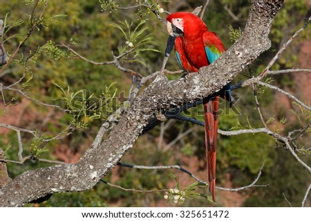 red macaw - stock photo