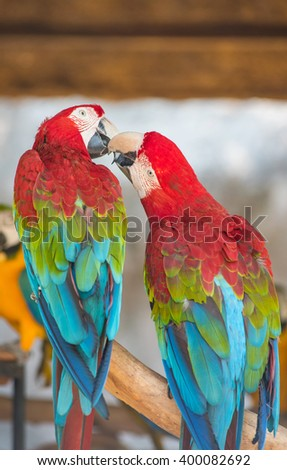 Red Macaw, Green-winged macaw, green wing macaw, red macaws in lovely moment - stock photo