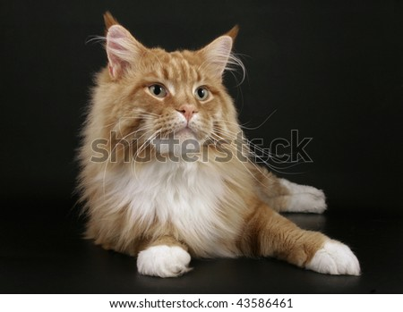 Red Maine Coon cat - stock photo