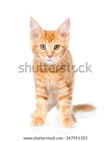 Red maine coon cat standing in front view. isolated on white background