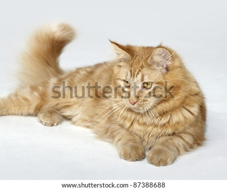 red Maine Coon Kitten resting on the ground in light grey back