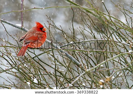 Red male Cardinal sits on a branch on a snowy day. - stock photo