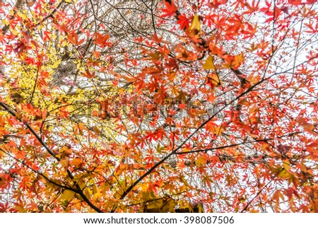 Red maple and yellow ginkgo biloba leaves on trees. Colorful leaves in late autumn in Japan, Asia.