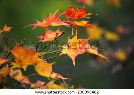 Red maple leaf changing colors - stock photo