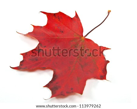 Red maple leaf on a white background. - stock photo