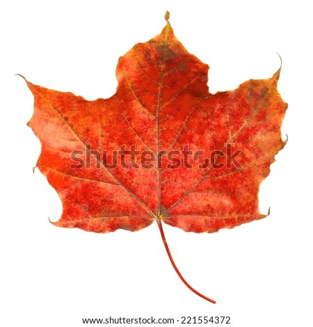 Red maple leaf on white background - stock photo