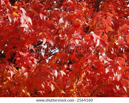 red maple leafs