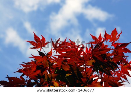 red maple leaves - stock photo