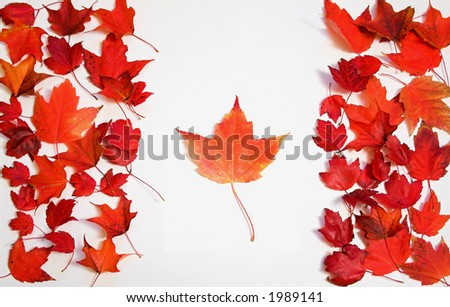 Red maple leaves arranged on white background to look like the Canadian flag