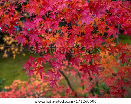Red maple leaves, golden autumn at Ryoan-ji temple - stock photo
