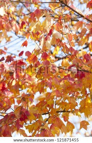 red maple leaves in fall season