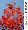 Red maple leaves in the autumn - stock photo