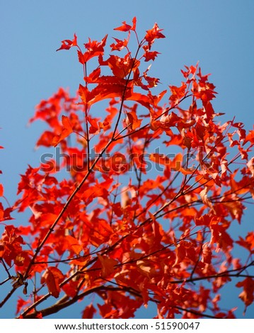 Red maple leaves in the autumn
