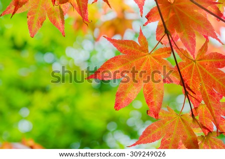 red maple tree background