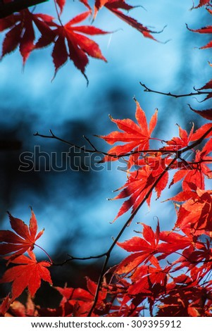 Red maple tree in sunlight - stock photo